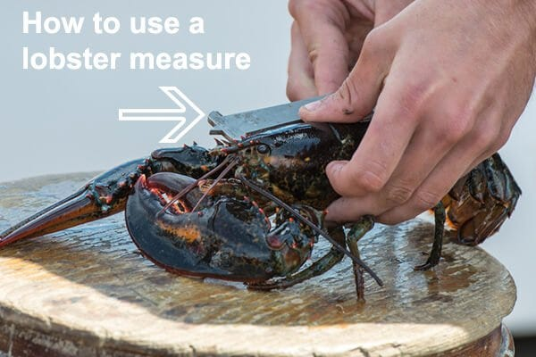 Measuring Live Lobster