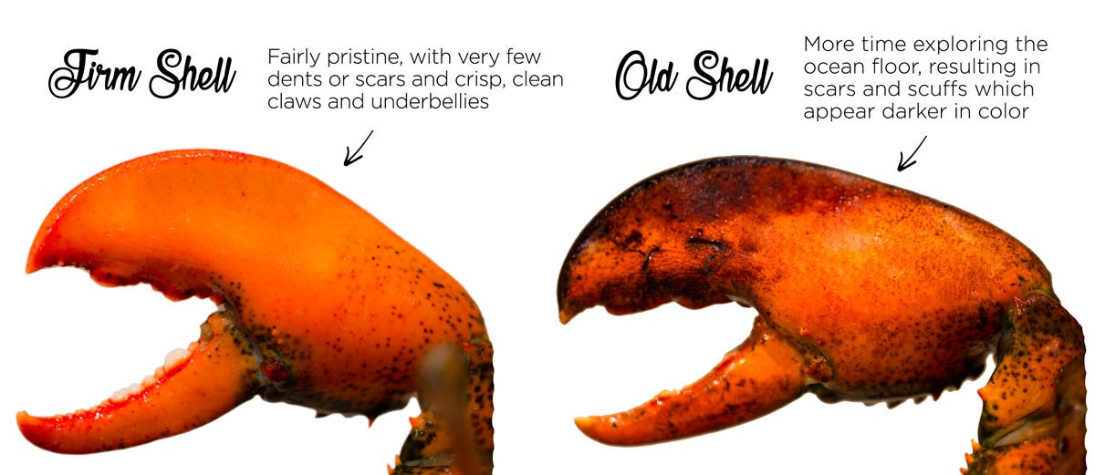 Differences Between Hard, Firm, and Soft Shell Maine Lobsters