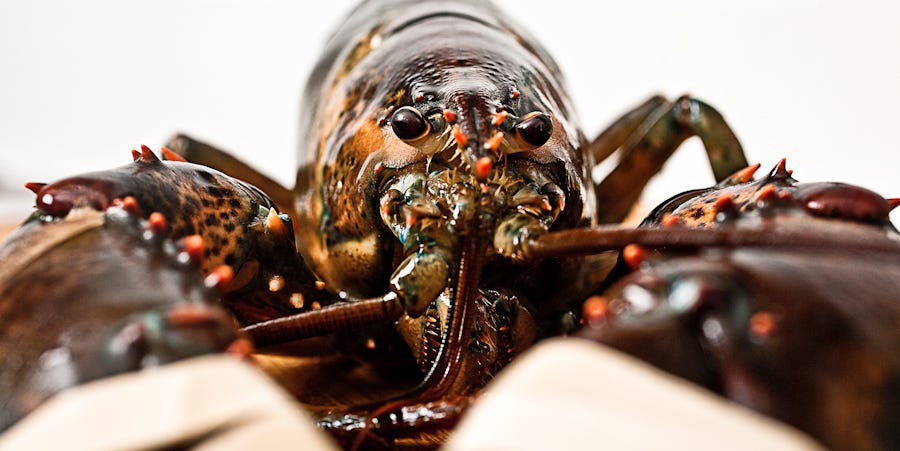 Maine Vs. Canadian Lobsters Vs. California Lobsters Vs. Australian Lobsters