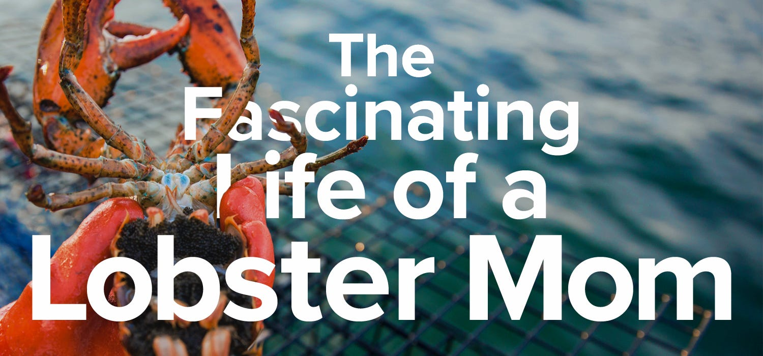 Life of a lobster mother