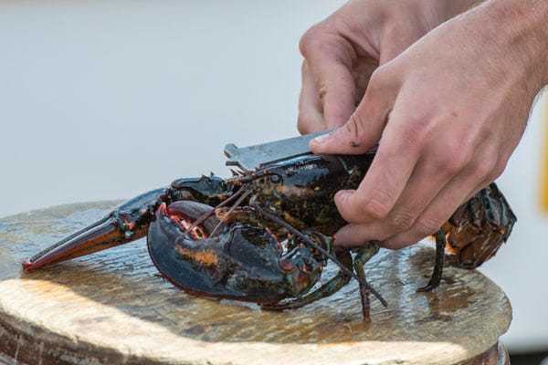 Gauging of a Maine Lobster to assure legal size